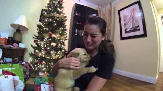 Surprised my wife with a golden retriever puppy for Christmas