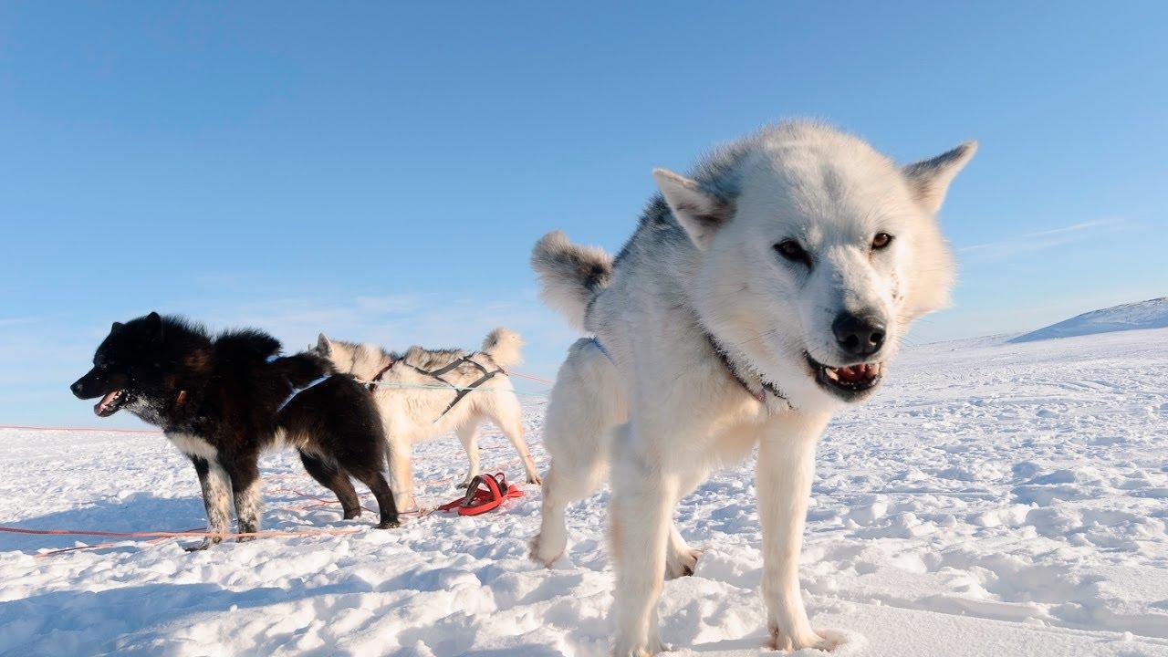 カナダのエスキモードッグ - 犬の品種 2021