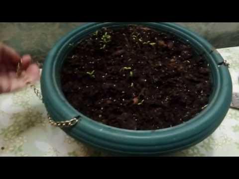 Вопрос: Почему нет семян в этом году на балконных растениях?
