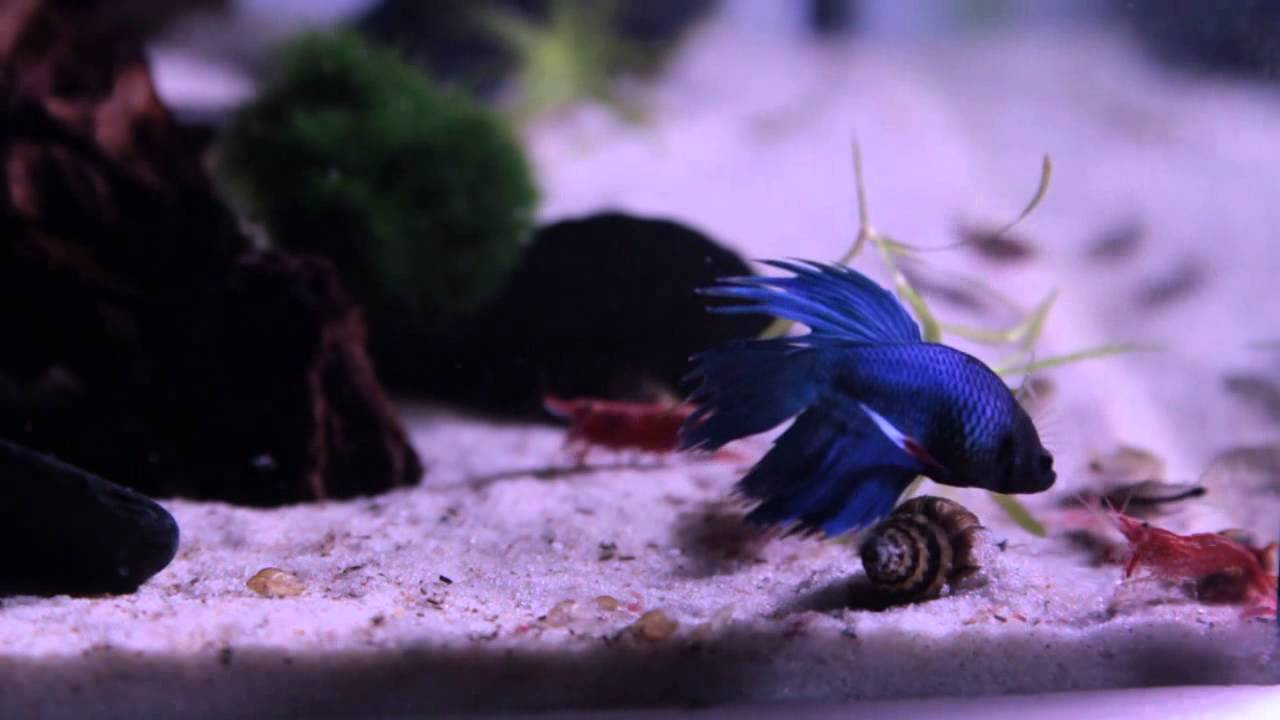 Red Cherry Shrimp tankmates - Red Cherry Shrimp