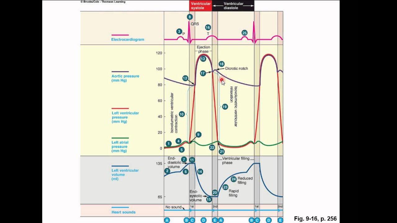 Cardiac cycle youtube cardiac cycle pooptronica