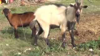 Video La cabra chiva capra aegagrus hircus macho cabrío download MP3, 3GP, MP4, WEBM, AVI, FLV November 2017