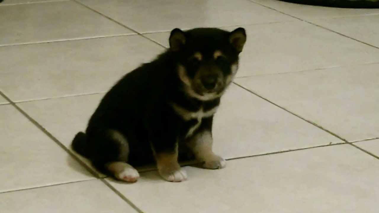 Black And Tan Male Shiba Inu Puppy Available Now Youtube