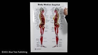 Body Median Sagittal Large Poster