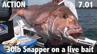 30lb snapper on a livebait
