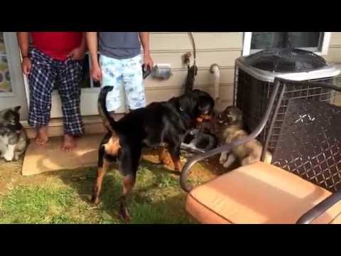 Rottweiler puppy meeting Husky puppies for first time