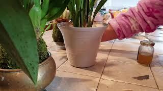 Cuidados Basicos De Bulbos En Orquideas