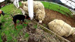 羊を前に大喜びのビビアンちゃんです.