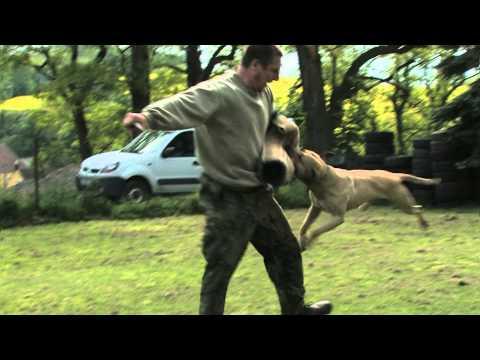Pitbull- trénink obran