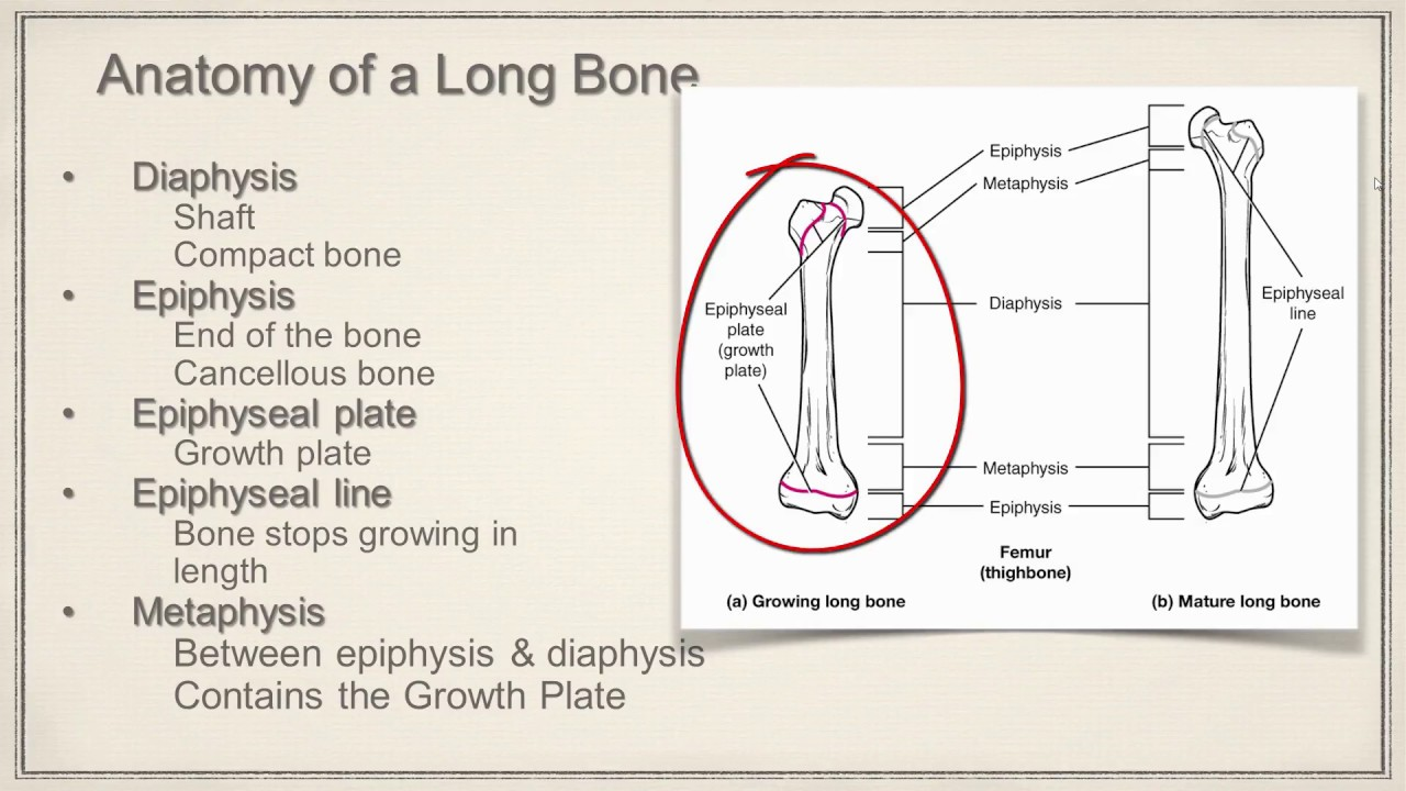 Long Bone Anatomy - YouTube