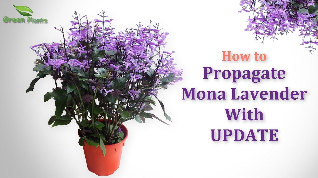 how to propagate purple flower plant mona lavender or. Black Bedroom Furniture Sets. Home Design Ideas