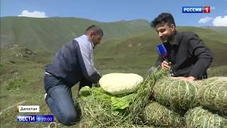Овечий сыр делают в высокогорном Дагестане