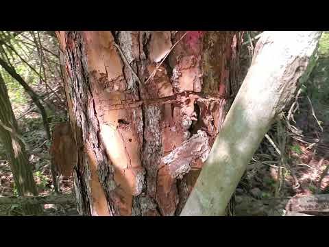 Vadiem's Pine Take 1