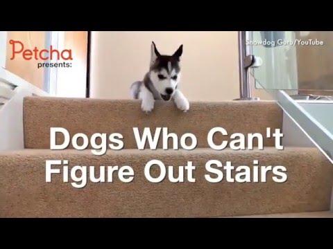 Собаки против лестницы