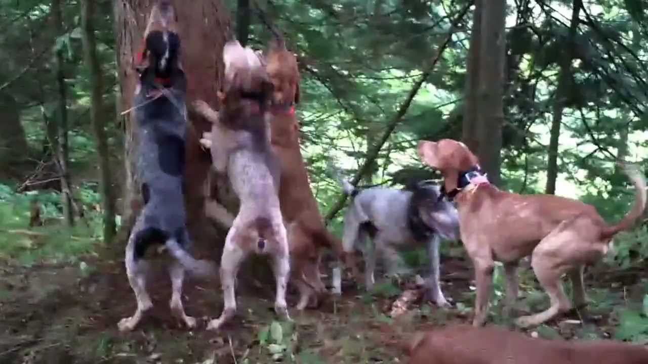 Bear Hunting with Hounds