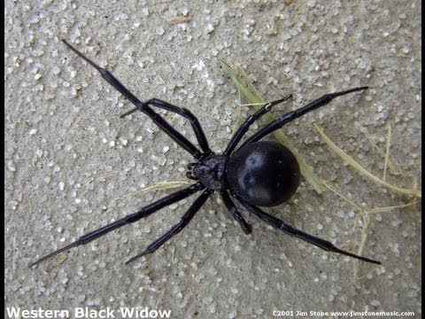 HUGE Black Widow Spider goes SPLAT - Poison Everywhere