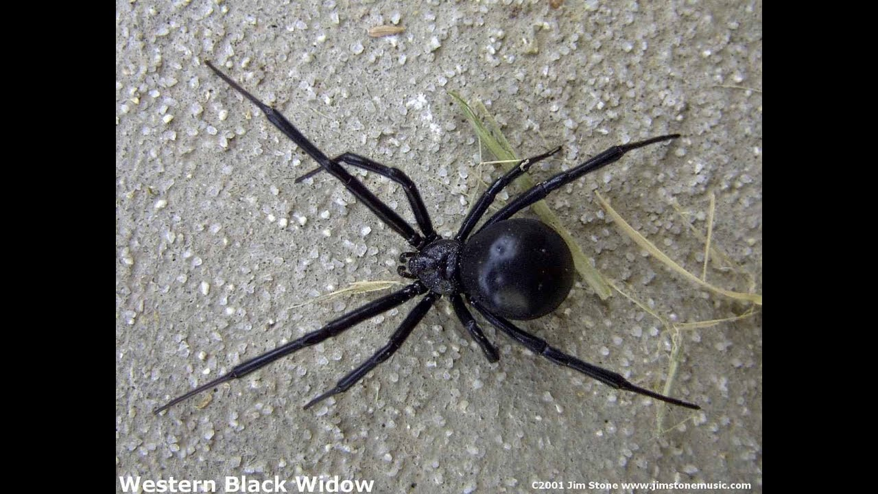 Black window spider pictures, tits running video