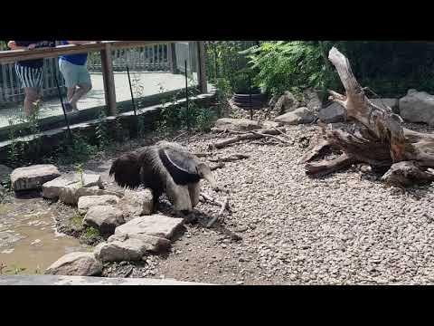 Walking giant anteater