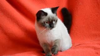 Купить шотландского котенка. Предлагаем: Шотландские котята-подростки сил-поинт окраса.