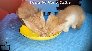 First time kittens eat canned cat food:So adorable!