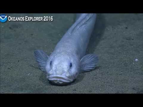 NOAA Okeanos Explorer - Pachycara seen depth 3997 meters 7-6-2016