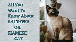 #BalineseCat #SiameseCat #Pet #Cat  Balinese or Siamese cat details.