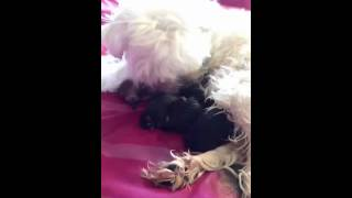 Maltese Getting Giving Birth To Morkies
