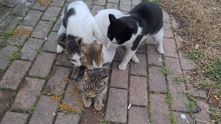 Poor Female Cat Attacked by 3 Male Cats.