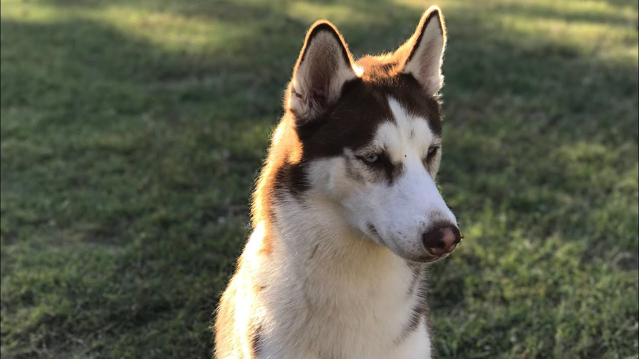 Husky Howling Make Your Husky Or Dog Howl Squeaky Toy Youtube