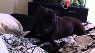 Staffy And Pug Puppy Play Fighting