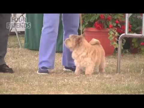 Norwich Terrier Windsor Dog Show 2015 Terrier group