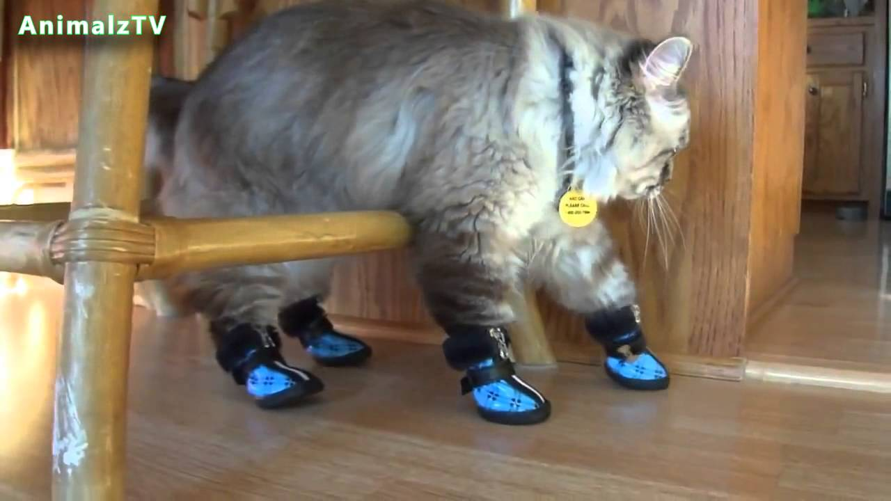 Cats wearing shoes