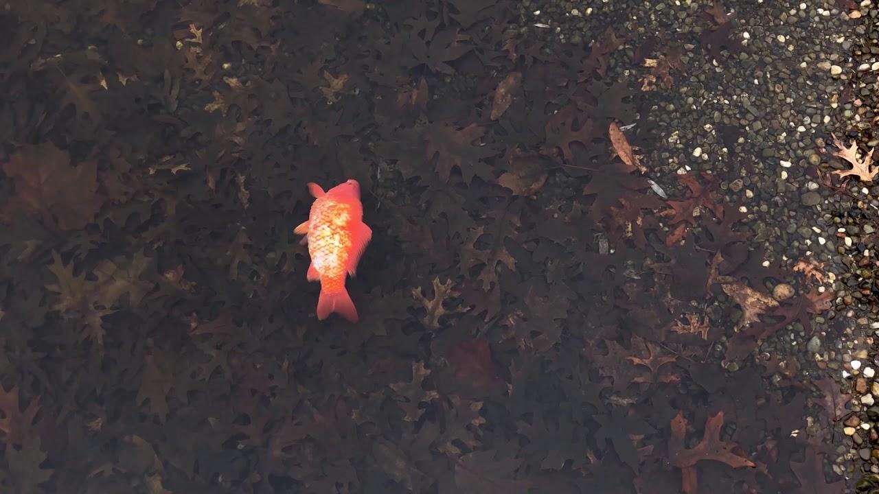 Wade Lagoon (Dead Goldfish)
