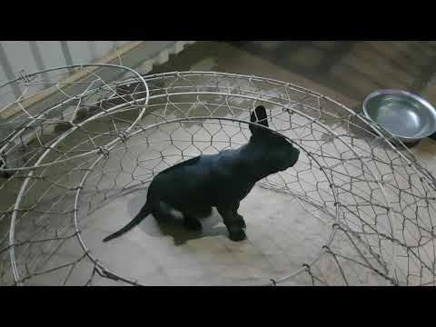 Bán chó Phú quốc đen tuyền lưỡi đen 100/100 cho anh Chúc (Nội thất Đăng Khoa) ở Kiến Đức Đăk Nông !