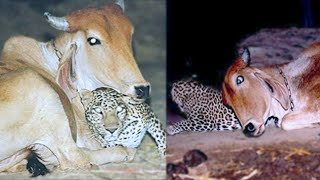 The Leopard Visits This Cow at Night  You'll Be Surprised to Learn Why