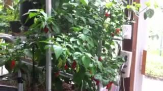 Citrus sunroom update (aquaponic ghost pepper)