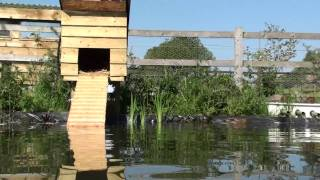 Mallard Baby Ducks