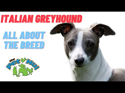 All About the Breed: Italian Greyhound