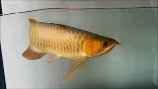 Tips Cara Masukin Ikan Arwana Baru Ke Dalam Aquari