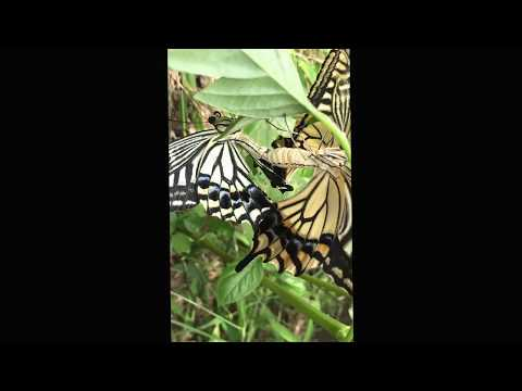 アゲハチョウの交尾 初めて見た
