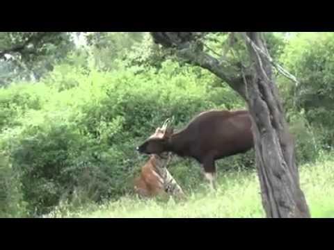 Tiger attack - Tadoba Andhari Tiger Project