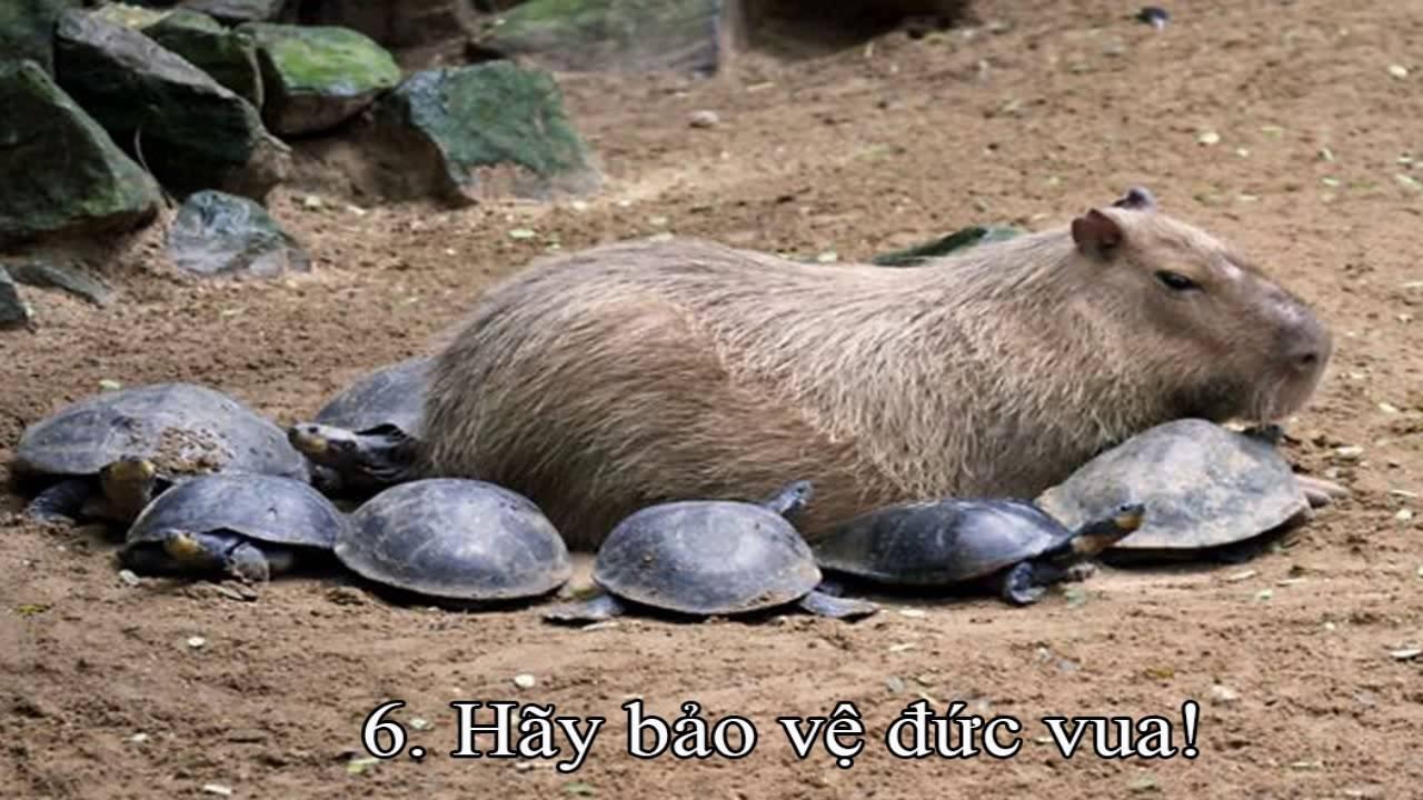 Capybara pet california - YouTube