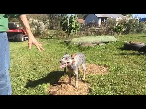 How to Train dog to Stand and not Move, Whoa Command Blue Heeler