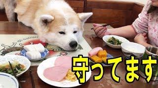 シベリアンハスキー犬クッキー 秋田犬惣右介 ジャーマンシエパード犬マ...