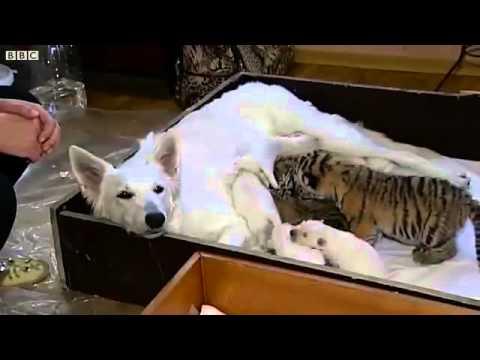 Chó làm mẹ nuôi của ba chú hổ - TT đào tạo lái xe Thái Sơn - 0909.06.19.05