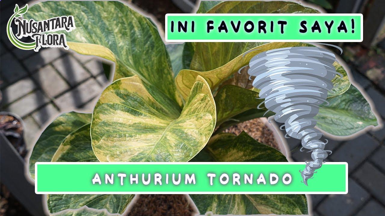 Anthurium Tornado #tanamanhias #anthurium #vlog2020