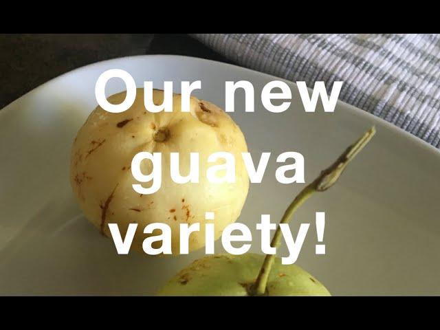Allahabad Safeda / White guava - A new guava variety Tasting Spring 2021, Florida