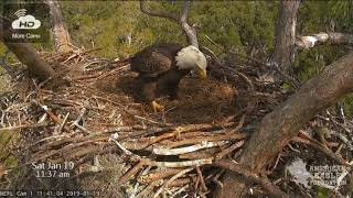 A2 and New Mature Young Male Eagle - Jan 19, 2019 - NEFL Bald Eagles