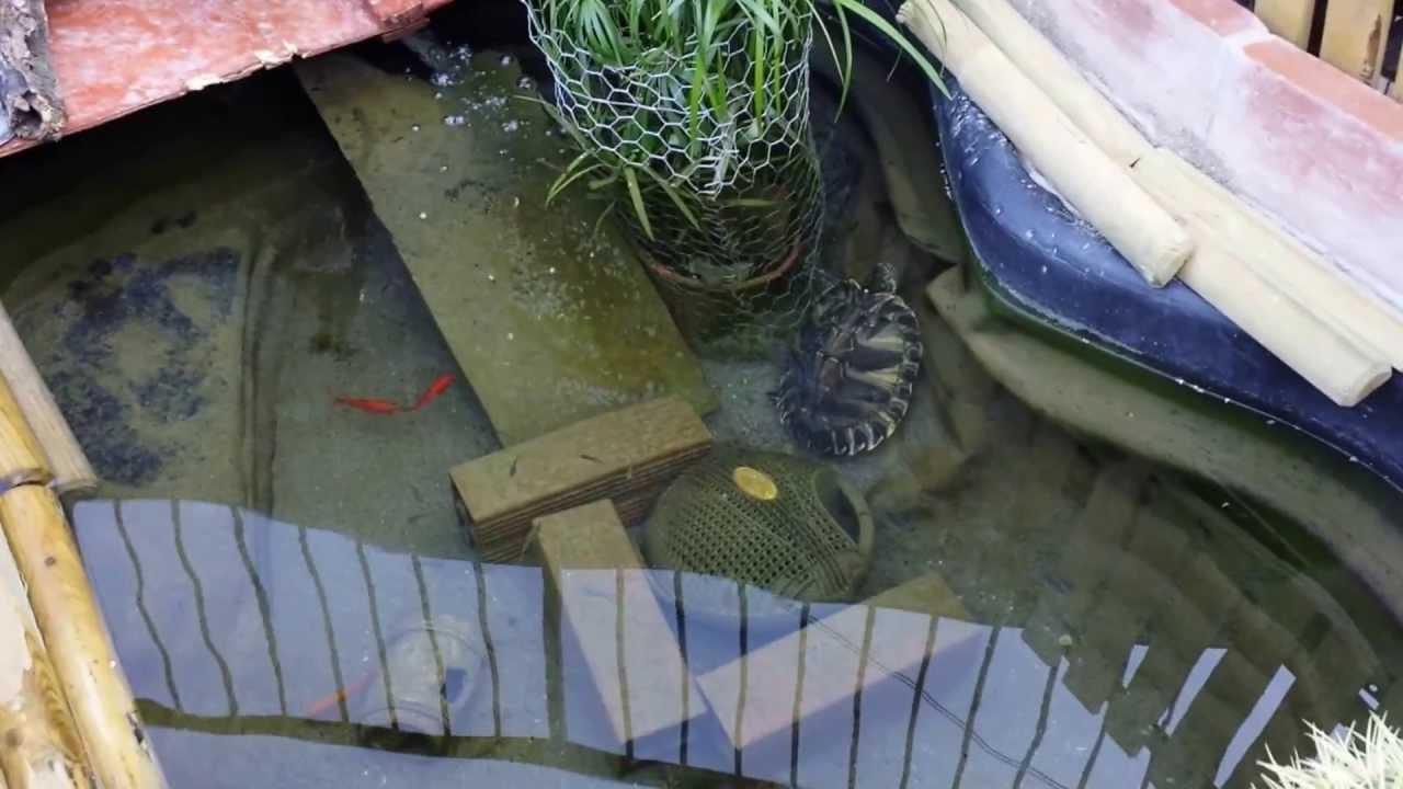 Tartarughe pesci rossi e gambusie nel youtube for Laghetto tartarughe esterno