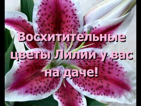 Восхитительные цветы лилии. Прекрасные фото цветов лилии